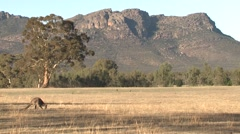 Eastern Grey Kangaroo Feeding in Rangeland by Grampian Mountains in Austrlia Stock Footage