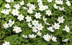 White spring flowers. Stock Photos