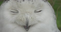 Polar Owl's Face Bird Blinks the Eyes Zoo Summer Day Animals Observation Stock Footage