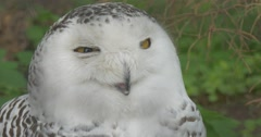 Polar Owl With Yellow Eyes Turns Its Head Aviary of the Zoo Green Grass Animals Stock Footage