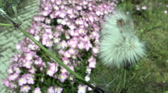 Blowball Dandelion after wind Stock Footage