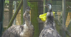 Emu Gray Birds Are Feeding From Bowl Sunny Day Excursion to the Zoo in Summer Stock Footage
