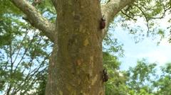 Two beetles on a tree trunk, Japanese rhinoceros beetles Stock Footage