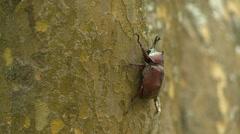 Close up of beetle on a tree trunk, Japanese rhinoceros beetle Stock Footage