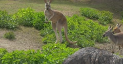 Kangaroos Are Looking at the Emu Curiously Feeding in the Zoo Summer Sunny Day Stock Footage