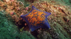 Large starfish on sea bottom in search of food. - stock footage