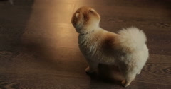 Funny dog Spitz - stock footage