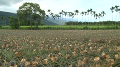 Pineapples field with mountains in the background Stock Footage