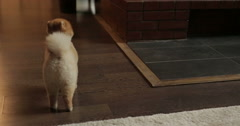 Home dog Spitz Stock Footage