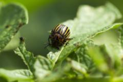 Colorado potato beetle in the field Stock Photos