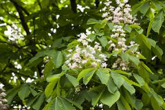 Blooming chestnut, spring Stock Photos