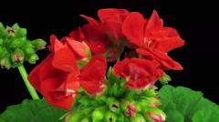 Time-lapse of opening red geranium (Pelargonia) flower, RGB + ALPHA matte format Stock Footage