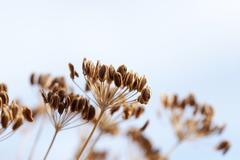 Brown stalk of fennel - stock photo