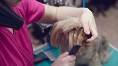 Brushing Face of Yorkshire Terrier Stock Footage