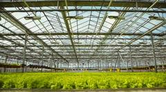 Cultivation of green salad in industry Stock Footage