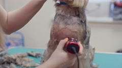 Terrier Getting a Haircut - stock footage