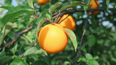 ripe orange on orange tree branch - stock footage