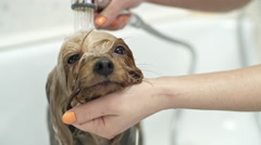Bathing Yorkshire Terrier Puppy Stock Footage