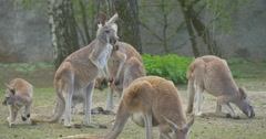 Kangaroos Are Grazing Animal is Washing Its Face Zoo in Summer Day Kangaroos Stock Footage