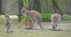 Kangaroos Are Walking and Feeding in the Zoo Summer Sunny Day One Animal is Stock Footage