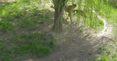 Cheetah the Predator is Walking Around Tree Nature in the Zoo Biology Zoology Stock Footage