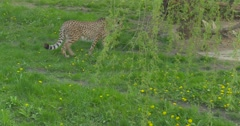 Wild Cat is Walking Under Tree at the Nature Cheetah in the Zoo Biology Zoology Stock Footage