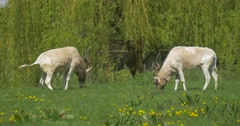 Two Antelope Grazing in a Meadow in the Zoo Stock Footage