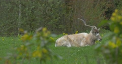 A Large White Antelope on the Green Lawn. Stock Footage