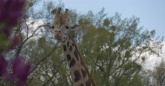 Giraffe Eating Leaves From Trees Head and Neck Excursion to the Zoo is Summer Stock Footage