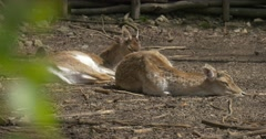 2 Young Deer in Zoo Bask in the Sun Stock Footage