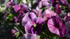 Close up view of the beautiful purple pansies in the garden by blowing wind Stock Footage