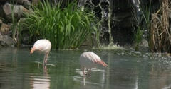 2 White Pink Flamingos Near a Waterfall Stock Footage