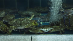 Several large green crabs are sitting in a tank. - stock footage