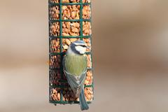 hungry blue tit on bird feeder, foraging for peanuts ( Cyanistes caeruleus ) - stock photo