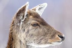 fallow deer calf close up portrait ( Dama dama, female ) - stock photo