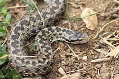 Female meadow viper in natural habitat ( Vipera ursinii rakosiensis ) Stock Photos