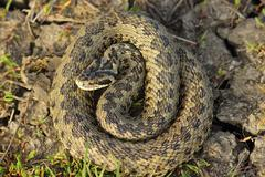 female vipera ursinii rakosiensis in situ ( hungarian meadow adder ) - stock photo