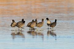 flock of common coots on icy lake ( Fulica atra ) - stock photo