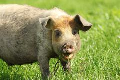 portrait of a funny pig grazing near the farm - stock photo