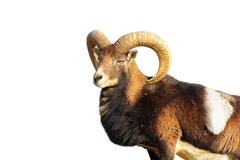 close up of great mouflon ram isolated over white ( Ovis orientalis ) - stock photo