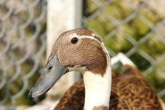 portrait of indian runner duck at the farm ( Anas platyrhynchos domesticus ) - stock photo