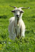White male goat standing on green lawn, looking towards the camera Stock Photos