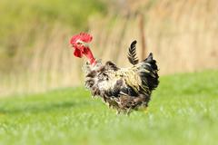 funny rooster walking on green lawn near the farm - stock photo