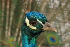 portrait of a beautiful peacock ( Pavo cristatus, male ) - stock photo