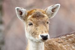 portrait of curious fallow deer doe ( Dama dama ) - stock photo