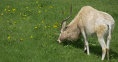 White-Fawn Antelope on Green Meadow Stock Footage