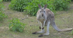 Kangaroo is Feeding Nibbling a Grass in the Zoo Summer Day Biology Zoology Stock Footage