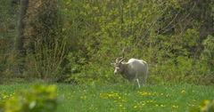 White Antelope Grazing on the Green Meadow Stock Footage