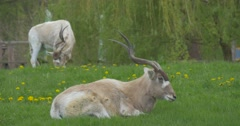 Two White Antelope on the Meadow Near the Trees Stock Footage