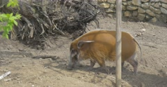 2 Bush Pigs at the Zoo on Open Air. Stock Footage